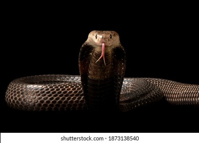 A Equatorial spitting cobra is on black