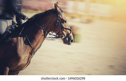 Equestrian sport. Portrait sports brown stallion in the bridle. Dressage of horse in the arena.