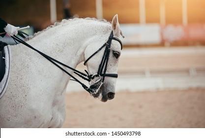 Equestrian sport. Portrait sports gray stallion in the double bridle. Dressage horse.