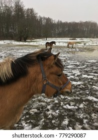 Equin horses on frosty land