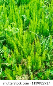 Equisetum arvense, the field horsetail or common horsetail - herbal plant