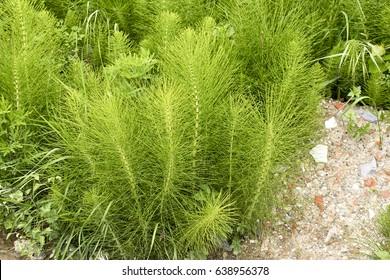 Equisetum arvense. Horsetail. Equisetum. Snake grass. Puzzlegrass in italy