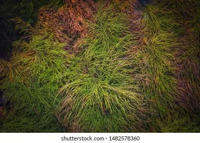 Equisetum arvense plant. Equisetum arvense, the field horsetail or common horsetail - herbal plant.