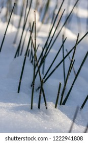 Equisetum (horsetail, snake grass, puzzlegrass) is the only living genus in Equisetaceae, a family of vascular plants that reproduce by spores rather than seeds. Plants in winter.