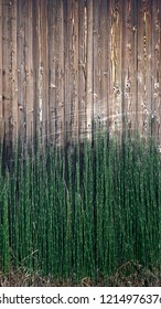 Equisetum hyemale, commonly known as rough horsetail, scouring rush, scouringrush horsetail and in South Africa as snake grass. 16:9 mobile phone wallpaper