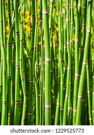 Equisetum Hyemale, also known as Rough Horsetail background.