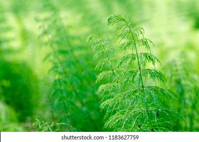 "Equisetum is a ""living fossil"" people knows it as the name ""horsetail"". green horsetail plant background"