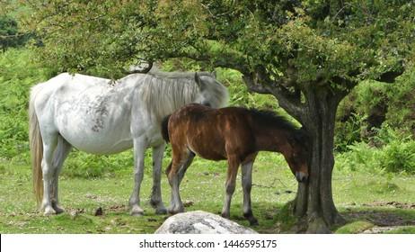 Equus Ferus Caballus - Wild Dartmoor Pony and Foal under a tree on Dartmoor in Devon, England, UK