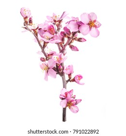 the era of flowering almonds, spring. pink almond flowers on branches without leaves isolated on white background