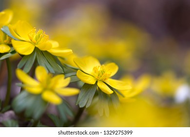 Eranthis hyemalis flowers outside in the garden