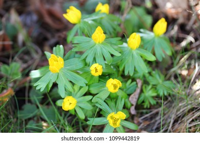 Eranthis hyemalis is a species of flowering plant in the buttercup family Ranunculaceae, native to calcareous woodland habitats in France