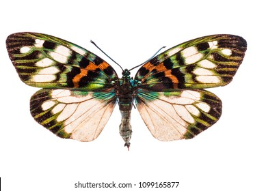 Erasmia Pulchella Chinensis butterfly isolated on white