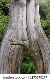 Erection - bizarrely shaped tree branch looking like a phallus - detail of the tree trunk