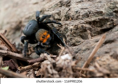 Eresus sp. female (ladybird spider)