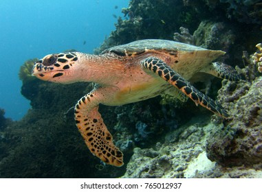 Eretmochelys imbricata, Hawksbill Sea Turtle