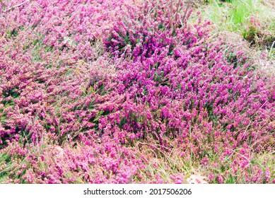 Erica (Erica arborea, Erica mammosa, lusitanica,  tetralix) - flower in the garden, Heather family