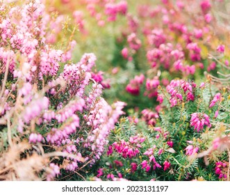 Erica (Erica arborea,  mammosa,  lusitanica,  tetralix) - flower in the garden, Heather family