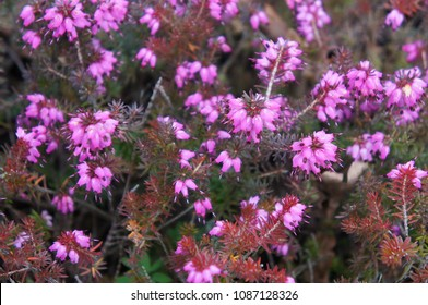 Erica carnea or heather challenger red plant