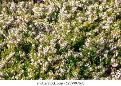 Erica carnea, known as winter heath, spring or alpine heath. Golden Starlet.