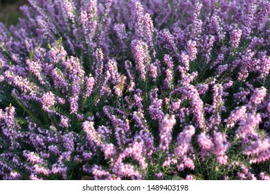 Erica Carnea or Myretoun Ruby purple violet flowers in spring garden close up with selective focus