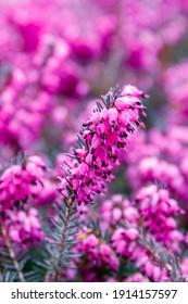 Erica carnea pink Flowers. Beautiful Winter heath, winter-flowering heather, spring alpine heath. Flowering Erica carnea Ornamental plant, closeup