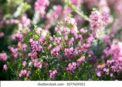 Erica carnea protected woodland flower in bloom, small flowers and leaves on little forest wild shrub