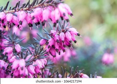 Erica carnea - winter heath, winter flowering heather, spring heath, alpine heath. Close-up of heather.
