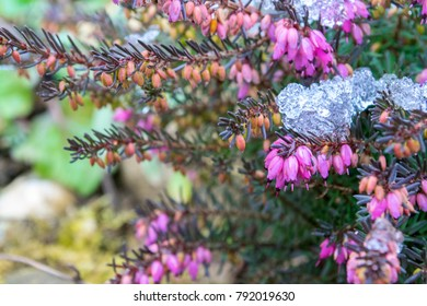 Erica carnea - winter heath, winter flowering heather, spring heath, alpine heath.  Blooming heather under the snow.