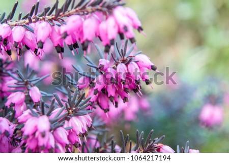 Erica Carnea Winter Heath Winter Flowering Stock Photo Edit Now