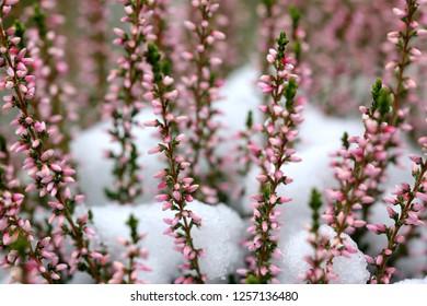 Erica carnea (winter heath), winter-flowering heather, spring heath, alpine heath
