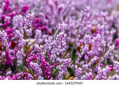 Erica carnea ( winter heath, winter-flowering heather, spring alpine heath ) pink Flowers. Flowering Erica carnea Ornamental plant, close up