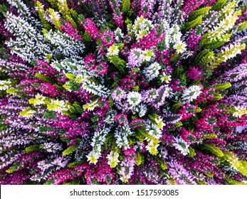 Erica flowering plant, top view. Flowering Erica gracilis Ornamental shrubs on the counter in the store.  Other Flower names - Cape heath or Calluna vulgaris var. Trio Girls