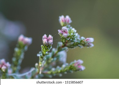 Erica flowers with dew frozen droplets