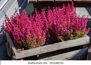 Erica graceful flowers in a wooden box. Garden decoration with blossom heather, pink bright little flowers on long branches.