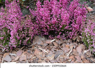 Erica gracilis. Pink bell heather shinning flowers, Heidis small flowers. Erica neglecta Don or Erica tenuissima.  flowering Erica mulch pine bark