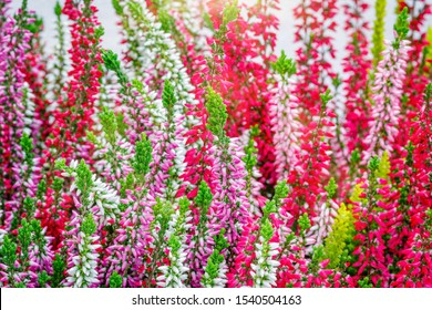 Erica gracilis pink flowers, close up.  Autumn blossoming background. Other Flowering plant names - Erica Cape heath or Calluna vulgaris.
