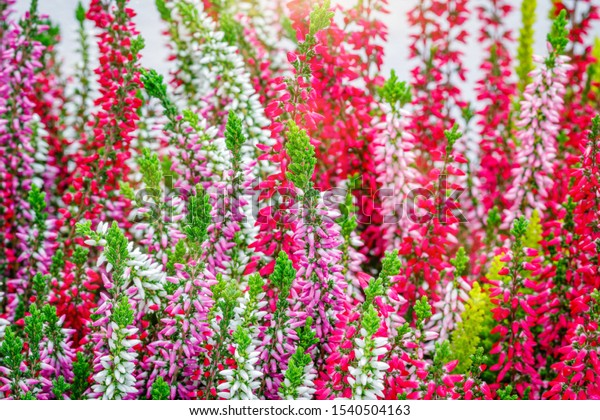 Erica Gracilis Pink Flowers Close Autumn Stock Photo Edit Now
