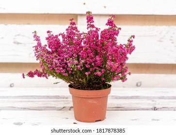 Erica gracilis plant on wood background.
