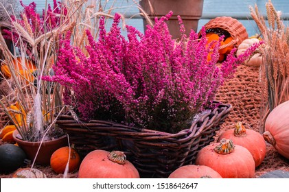Erica Heather bright pink in a basket,  pumpkins, zucchini, flowers are near. Harvest and autumn festival, flower composition