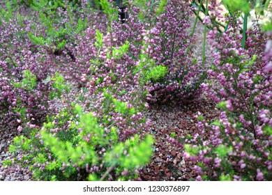 Erica purple flower