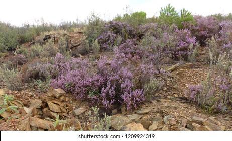 Erica vagans (Cornish heath, wandering heath) Ericaceae family. Location: Extremadura, Spain
