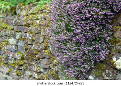 Erica x darleyensis, or Pink Spangles flowering subshrub plant also known as Furzey, Winter Heath, Springwood pink, December red, and Archie Graham, with abundant small, urn-shaped, purple pink flower