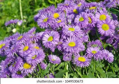 Erigeron flowers blooming in the garden