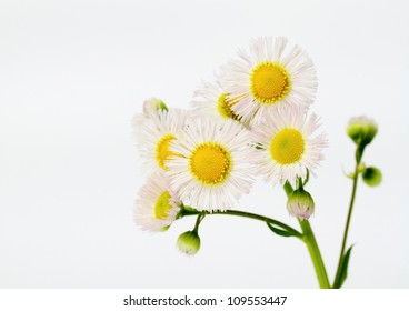 Erigeron philadelphicus of the flower of the field