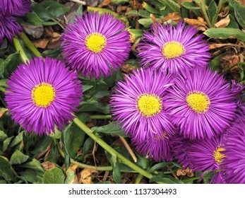 """Erigeron """"Sommerabend"""" (fleabane) flowers with purple petals and yellow centres"""