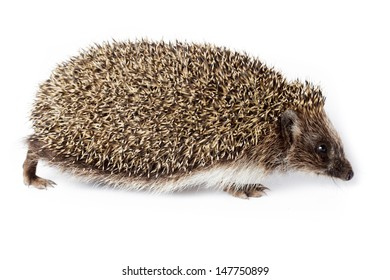 Erinaceus europaeus, western European Hedgehog, in front of white background, isolated. Denisovo, Ryazan region, Pronsky area. Russia