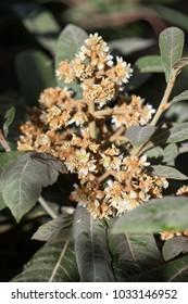 Eriobotrya Japonica(Nispero) tree flower. Floral backgrounds