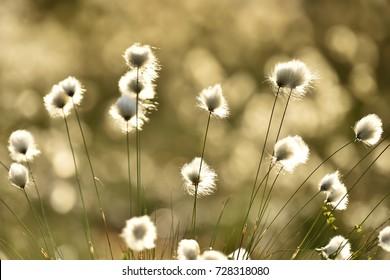 Eriophorum, cottongrass, cotton-grass, cottonsedge at the sun