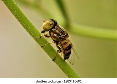 Eristalinus arvorum, a hoverfly, found in Sichuan, China.