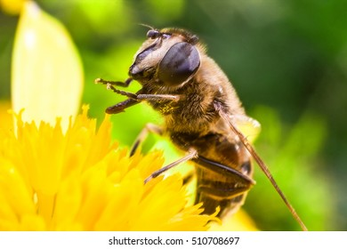 Eristalis Pertinax known as hoverfly on a flower